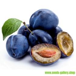 Semillas de Ciruelo Serbio (Prunus domestica)