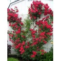 """Climbing Rose Seeds """"Paul's Scarlet Climber"""""""