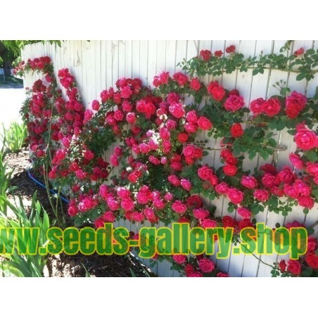 "Graines de Rose Escalade ""Paul Scarlet Climber"""