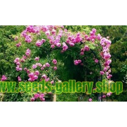 """Αναρρίχηση τριαντάφυλλα Σπόροι """"Paul Scarlet Climber"""""""