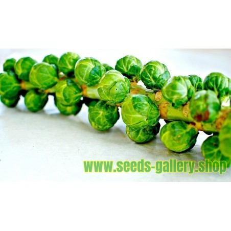Rosenkohl Samen * Long Island Herkules * Brassica oleracea