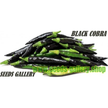 "Graines de Piment Noir BLACK COBRA ""Goat's Weed"""
