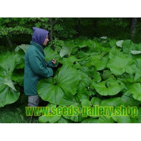 Lopuh – Repuh Seme – cudotvorni lek
