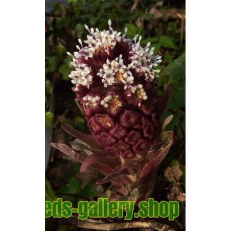 Pestskråp Frö (Petasites hybridus)