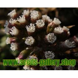 Graines de Prune Malgache (Flacourtia indica)