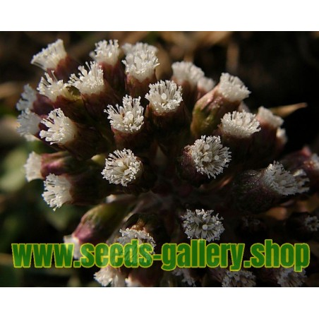 Ramontchi, Governor's Plum Seeds (Flacourtia indica)