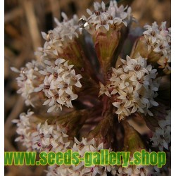 Graines de Grand Pétasite (Petasites hybridus)