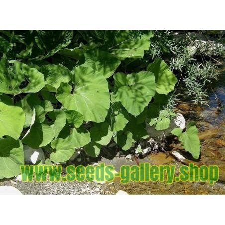 Sementes de Petasite - planta medicinal