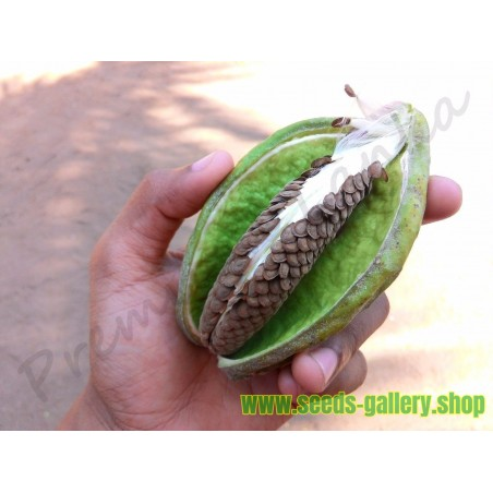 Crown Flower Seeds (Calotropis gigantea)