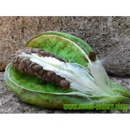 Graines Mudar Calotrope Géant - Plante médicinale (Calotropis Gigantea)