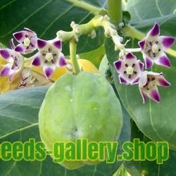 Sugarcane or Sugar Cane Seeds (Saccharum officinarum)