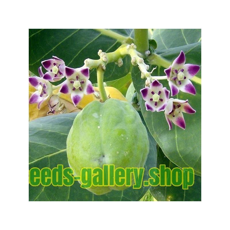 Semi di Canna da Zucchero o Cannamele (Saccharum officinarum)