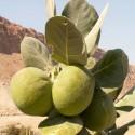 Graines de Palmier À Bétel ou Aréquier (Areca catechu)