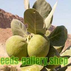 Semillas de Palma de Areca (Areca catechu)