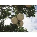 Semillas de Limonia, Kawista (Limonia acidissima)
