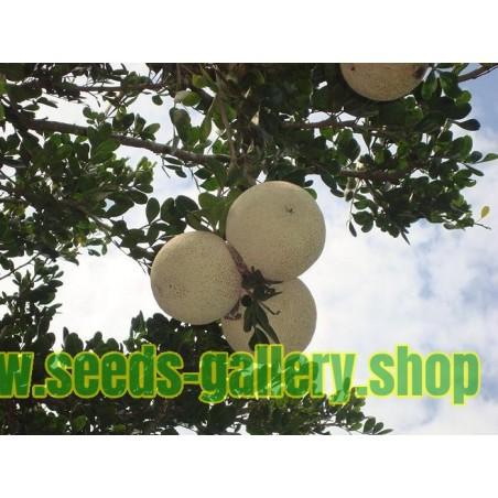 Betelnusspalme Samen (Areca catechu)