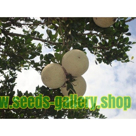 Wood Apple - Elephant Apple Seeds (Limonia acidissima)