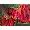 Βιολογικός σπόρος Πάπρικα Γλυκιά Κόκκινη 'Amphora'