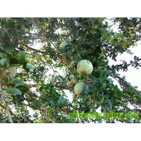 Drvena jabuka – Slonovska Jabuka Seme (Limonia acidissima)