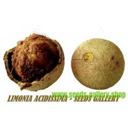 Sementes de Maça De Madeira (Limonia acidissima)