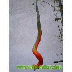 SNAKE GOURD Seeds (Trichosanthes cucumerina)