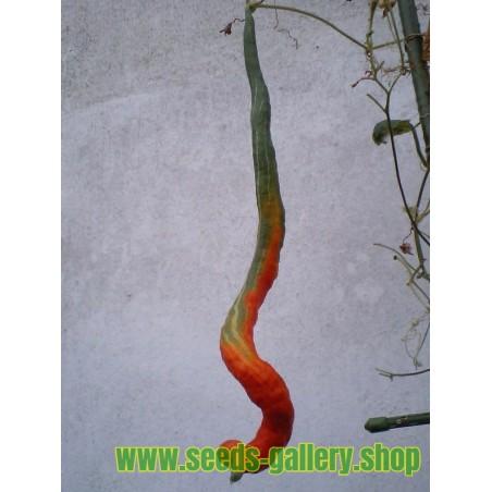 Semillas de CALABAZA DE LA SERPIENTE (Trichosanthes cucumerina)