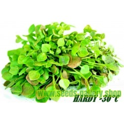 Winter Purslane, Indian Lettuce Seeds (Claytonia perfoliata)