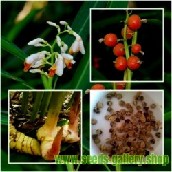 BLUE GINGER or THAI GINGER Seeds (Alpinia galanga)