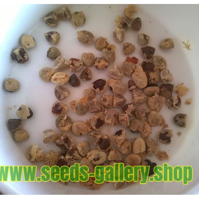 Graines de Basilic
