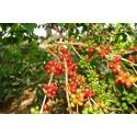 Graines de Aloe Rouge (Aloe cameronii)