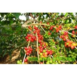 Frutto raro - Semi di frutta RUSTY SAPINDUS (Lepisanthes rubiginosa)