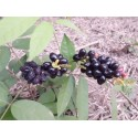 Oleander - Rosenlorbeer Samen (Nerium oleander)
