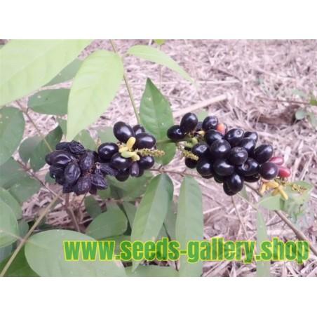 Sällsynta frukt - Rusty sapindus frukt frön (Lepisanthes rubiginosa)