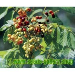 Rare - Graines de fruits Rusty Sapindus (Lepisanthes rubiginosa)