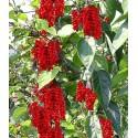 Sementes de Cucamelon Micro Pepino