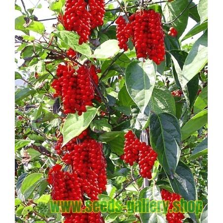 Chinesische Beerentraube Samen (Schisandra chinensis)