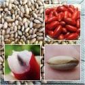 Semillas de FRUTA MILAGROSA o BAYA MÁGICA (Synsepalum dulcificum)