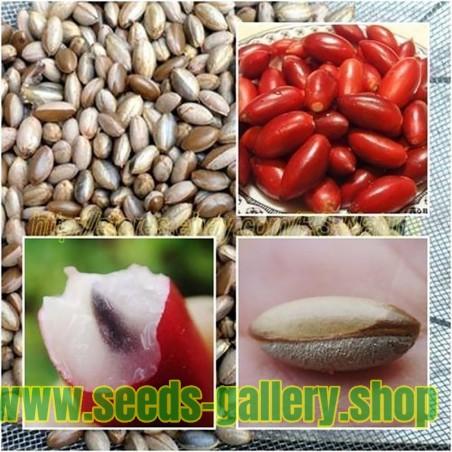 Graines de FRUIT MIRACLE ou FRUIT MIRACULEUX (Synsepalum dulcificum)