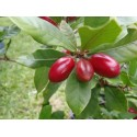 Miracle Fruit - Miracle Berry Seeds (Synsepalum dulcificum)