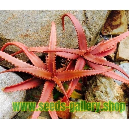 RED ALOE Samen (Aloe Cameronii)