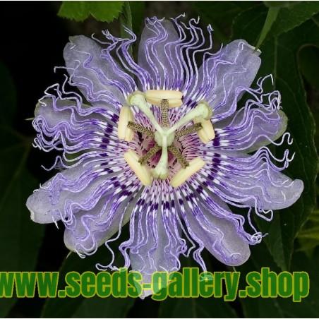 Maypop, Purple Passionflower Seeds (Passiflora incarnata)