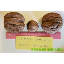 GIANT WALNUT Seeds (Juglans regia)