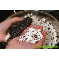 Black Popcorn Corn Dakota Seeds
