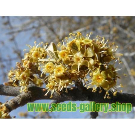 Sementes de buffaloberry-prateado (Shepherdia argentea)