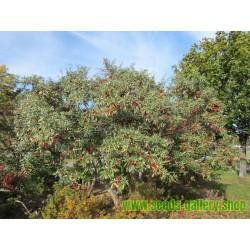 Crni Kikiriki Seme (Arachis hypogaea)