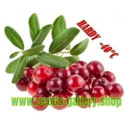Σπόροι Σεφέρδια - βρώσιμα φρούτα (Shepherdia argentea)