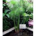 Allium Giganteum Seme - Globemaster