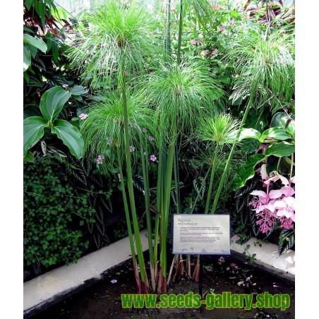 Graines de Ail Géant (Allium giganteum)