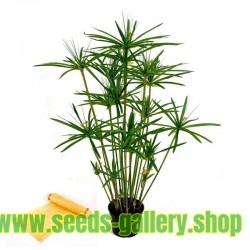 Semi di PAPIRO EGIZIANO (Cyperus papyrus L.)