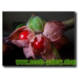 Katuk, Star Gooseberry, Sweet Leaf Frö (Sauropus androgynus)